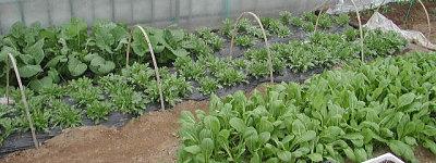 ハウス野菜