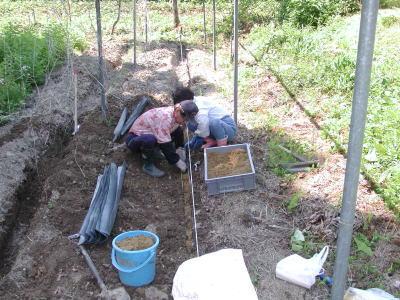 自然薯の種植え付けの準備